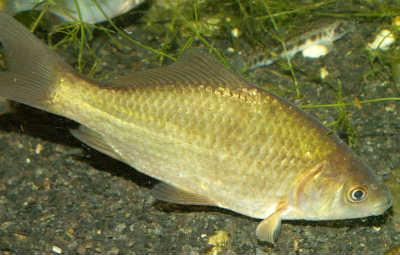 Рыба карась серебрянный