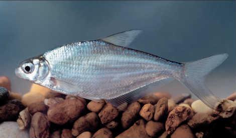 Рыба белоглазка у камней
