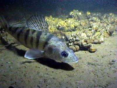 Берш рыба на дне