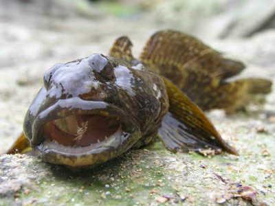 рыбы бычки на камне