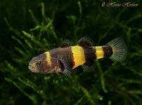 рыба бычок аквариумный