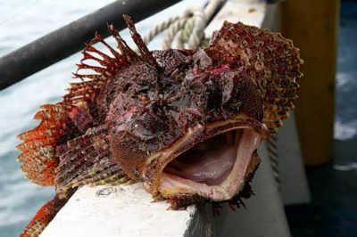 рыба бычок кругляк