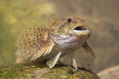 рыба бычок подкаменщик на суше