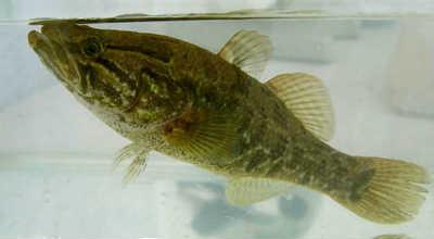 рыба бычок ротан