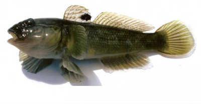 рыбы бычки ширман