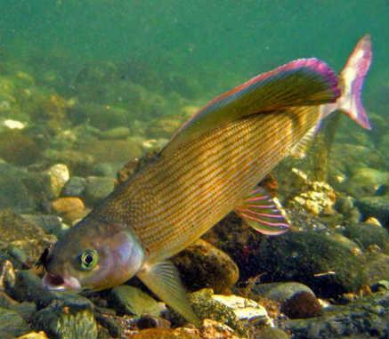 Как ловить форель в реках и озерах