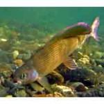 Рыба форель имеет несколько разновидностей