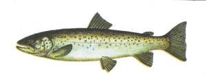Рыба форель кумжа