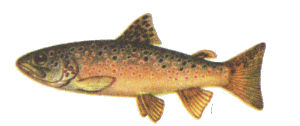 Рыба форель ручьевая