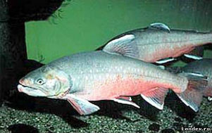 Рыба голец на дне