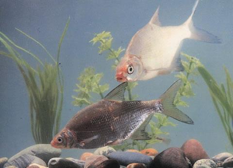 густера рыба на камнях