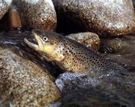 Кумжа рыба на камнях