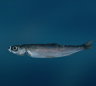 Рыба рипус