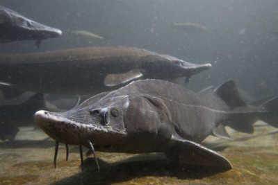 рыба осетр сибирский