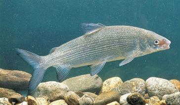 Рыба сиг в воде