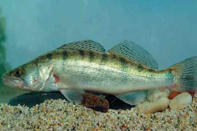 Рыба судак на дне