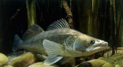 Рыба судак на каменистом дне