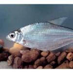 Рыба белоглазка относится к семейству карповых