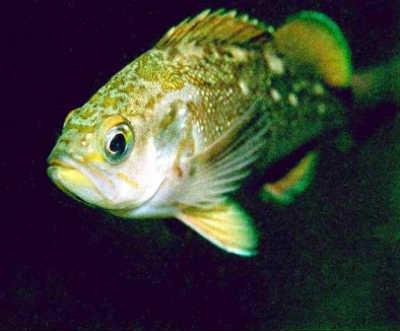 Рыба ёрш в воде