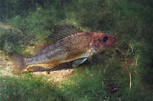 Рыба ёрш на дне водоема