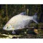 Густера рыба похожая на леща