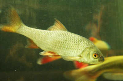Красноперка рыба у травы