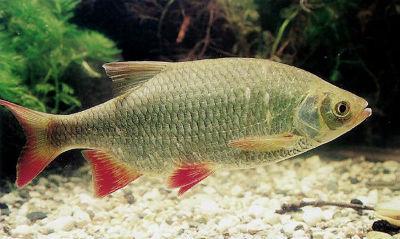 Красноперка рыба