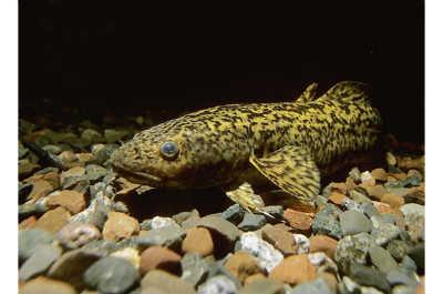 Рыба налим на камнях