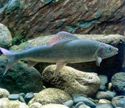 Рыба хариус европейский