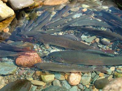 Рыбы хариус на кмнях