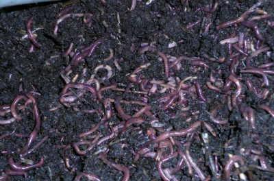 Наживки для рыбалки навозные черви