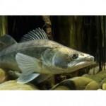 Рыба судак относится к семействуокуневых