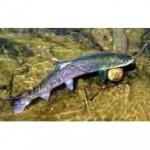Таймень рыба семейства лососевых