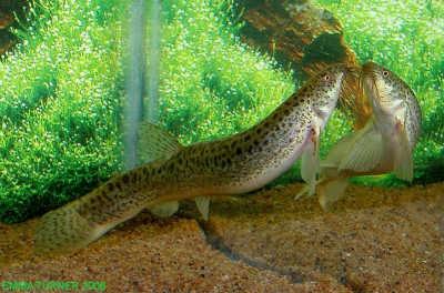 Рыба вьюн в аквариуме