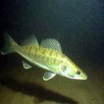 Рыба берш относится к семейству окуневых