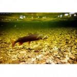 Рыба ленок относится к семейству лососевых