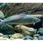 Рыба хариус относится к семействухариусовых