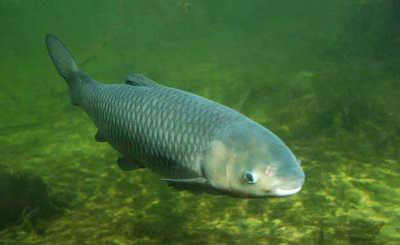 Рыба амур белый на дне