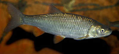 Елец рыба в реке
