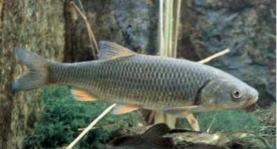 Елец рыба у дна