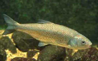 Елец рыба в воде