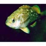 Рыба ёрш относится к семейству окуневых
