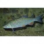 Рыба голавль относится к семейству карповых