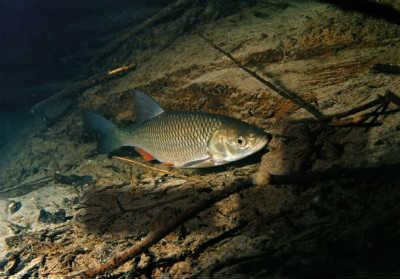 Рыба голавль в воде