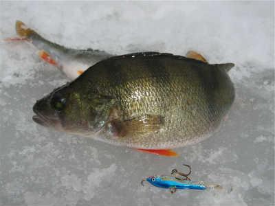 Ловить окуня на льду