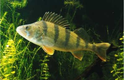 Окунь рыба в траве