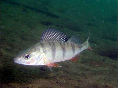 Окунь рыба в воде