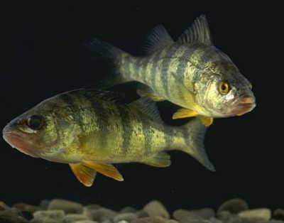 Окунь рыба в реке