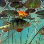 Окунь рыба семейства окуневых