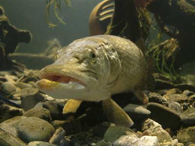 Рыба щука на камнях